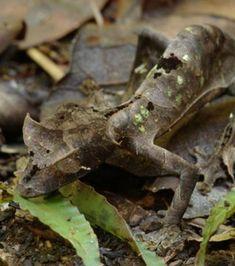 Le gecko Uroplatus phantasticus sait se fondre dans les masses de feuilles tombées au sol