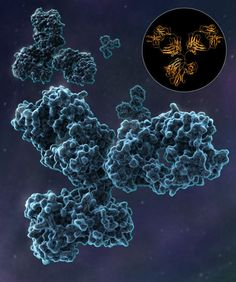 An illustration of IgG1, a subclass of Immunoglobulin G and the most abundant antibody produced by plasma B cells that circulate in the body to defend against infection. After binding to a foreign substance, antibodies can overwhelm and immobilize pathogens, or act as markers to signal other cells in the immune system. #photo #image #dessin #immunoglobuline #immunoglobuline g #immunoglobuline g1 image #003k1u15