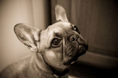 'Lil Hoot', the French Bulldog Puppy.