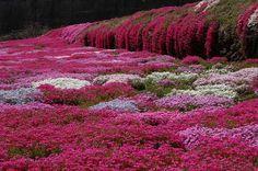 Shibazakura flowers at the Hitsujiyama Park in Japan