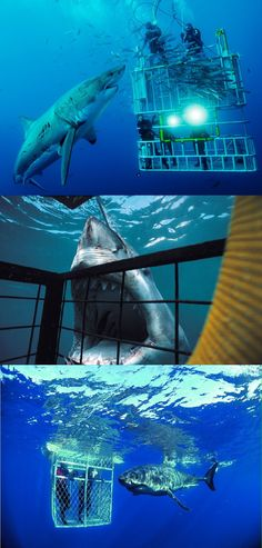 Go Shark cage diving in Gansbaai, near Cape Town, South Africa 🇿🇦 by Rebekah Sheppard Truscelli. Oh The Places You'll Go, Places To Travel, Places To Visit, Orcas, Shark Diving, Scuba Diving, Shark Swimming, Shark Cage, Cape Town