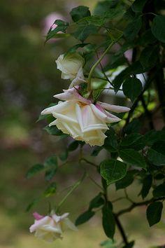 Noisette Rose: Rosa 'Chromatella' (France, 1841)