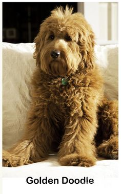 Yes--by now you have realized my love for golden doodles! They just look like big, overgrown, stuffed teddy bears. Once you have one, you will wonder how you ever lived without him/her:)