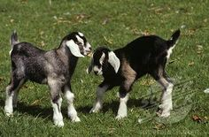 Anglo-Nubian Goat Kids  coming soon to a farm near me!!!