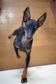 Toy Manchester Terrier. Just love these little guys!
