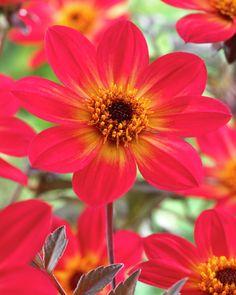 Dahlia 'Happy Single Flame' • Plants & Flowers • 99Roots.com