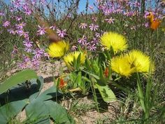 September is the season of flower shows in the country, such as the Darling Wild Flower show, the Hopefield, Caledon and Clanwilliam shows. Most of these pictures are taken near Darling during the. Lawns, Flower Show, Wilderness, Wild Flowers, Cape, September, Garden, Pictures, Mantle