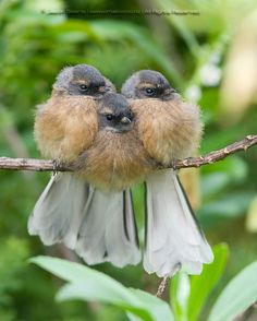 Threes a Crowd by Juvenile Fantail.by Jason Bearlo