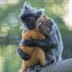DesertRose /// so cute Silver Leaf Langurs cuddle close together at the San Diego Zoo Primates, Mammals, Animals And Pets, Baby Animals, Cute Animals, Jungle Animals, Beautiful Creatures, Animals Beautiful, Zoo Photos