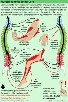 Pin by Lulalu on Anatomie/diseases Muscle Anatomy, Body Anatomy, Nerve Anatomy, Physical Therapy School, Spine Health, Medical Anatomy, Human Anatomy And Physiology, Chiropractic Care, Massage Therapy