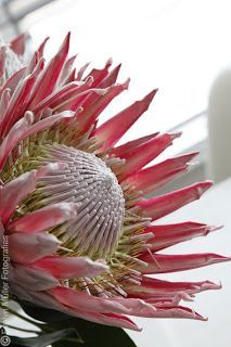 Flores e plantas diferentes I Repinned by www.loisjoyhofmann.com I first saw proteas growing naturally in Australia. How wonderful! Until then, I'd only used them very occasionally in making special flower arrangements.