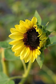 Sunflowers of course!! Different sizes and varieties but only ones with black/brown centers!: