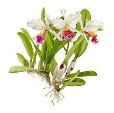 watercolor orchids   cattleya rex original watercolor by linda petchnick painting measures ...