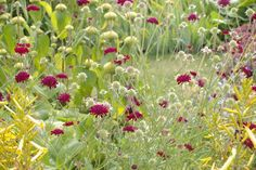 Image result for phlomis russeliana planting combinations