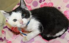 Cookies is a super sweet 3 month old kitten. She is a Domestic Shorthair mix looking for a good home.