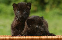 6 Weeks Old Panther Cubs | Cutest Paw