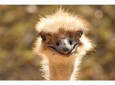 ostrich emu   Ostrich (or was it an emu...???)