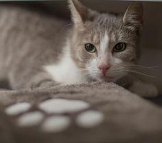 Surprise, femelle Les Pachas Association Protection féline Rennes (adoption chat)