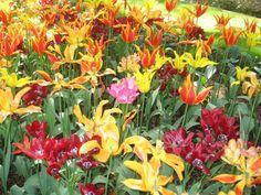 Keukenhof- Tulip Garden Amsterdam40.JPG