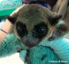 Juvenile Sibree's dwarf lemur