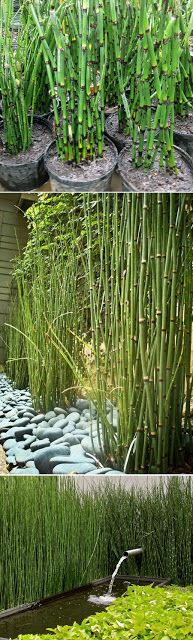 Love my horsetail reeds. Idea for divider in front to hide view of neighbors junk - Equisetum Horsetail Plants. plant in containers to control spread in groups by front fence Planting Flowers, Plants, Water Garden, Horsetail, Garden Screening, Japanese Garden, Outdoor Gardens, Garden Inspiration, Landscape