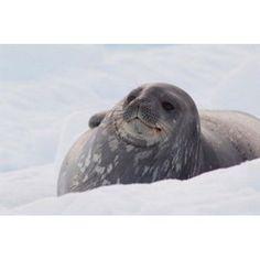 Antarctica Paradise Harbour Fat Weddell seal Canvas Art - Cindy Miller Hopkins DanitaDelimont (34 x 23)