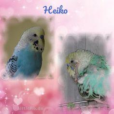 Heiko, mein kleiner Liebling! - Wellensittich Forum und Galerie fuer Wellensittich-Freunde Parrot, Fish, Pets, Animals, Budgies, Friends, Parrot Bird, Animales, Animaux