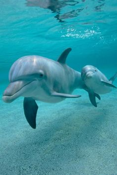 Dolphins swim up to 100 miles a day when they are free. Once they are captured for Swim with Dolphins shows like Dolphin Discovery, they live their lives in Misery. Please show some compassion, Don't buy a ticket to these Dolphin Swims. Let them Swim free like we do.