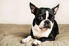 Esiste una razza canina adatta a ogni persona e stile di vita.Qui, vi consigliamo alcunerazze canineche possono vivere senza problemi in appartamento.