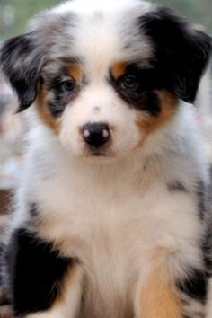 A spotted Australian Shepard puppy would also make a great graduation present!