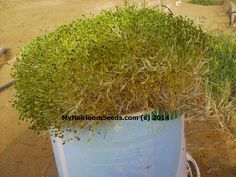 Animal Fodder Feed: Turn 50lbs of Grain Into 300lbs in 9 days
