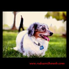 Rescue Doxie Alert. Meet Chandler http://wp.me/p27Fw1-fc a senior doxie looking for his forever home. Please cross post, RT and forward. #dachshund #rescue #doxies