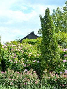 endless rose hedges