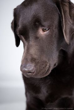 Chocolate lab labs are so sensitive and intelligent and engaged, look at those eyes