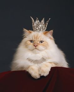 Queen. Some cats do act like they are royalty. So cute.