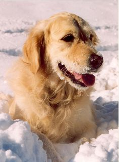 Golden Retriever in Snow - Taken as the snow sets over the mountains in La Clusaz Golden Retriever Names, Golden Retriever Training, Golden Retriever Labrador, Golden Retrievers, Big Dogs, I Love Dogs, Cute Dogs, Funny Dogs, Best Dogs For Families