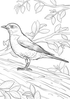 American Robin Coloring Page From Robins Category Select 24659 Printable Crafts Of Cartoons