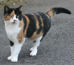 calico cats | Calico Cat Free Photo