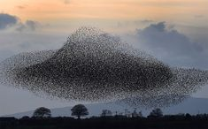 Tens Of Thousands Of Starlings Form Spectacular Murmuration Photography By: Owen Humphreys