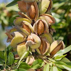 De amandel is het zaad van de amandelboom (Prunus dulcis). Amandelen worden in augustus geoogst. De buitenkant van de 'pit' van deze steenvrucht wordt gekraakt; het vlies wordt verwijderd door de amandel kort te blancheren. De amandel is zelfbestuivend, maar kwekers in Californië zetten op grote schaal bijen in voor de bestuiving.  Ruim 80 procent van de amandelen komt uit Californië. Ook Spanje heeft een grote productie van zoete amandelen; met name de Jordan- en Valencia amandelen komen…