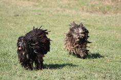 bergamo shepherd   The temperament of the Bergamasco sheepdog   Allevamento di Valle ...