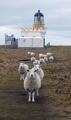 Brough of Birsay Sheep 2 – Brough of Birsay Lighthouse · Brough Head · Orkney Isles · Scotland