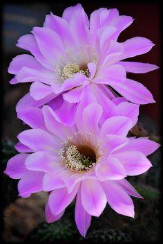~~Echinopsis Aurea ~ cactus flower by Saija Lehtonen~~