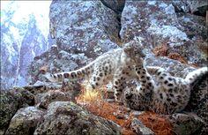 Snow leopard cubs in Siberia.