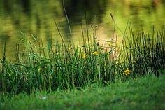 Lake, Herbs, Flower, Water, Landscape
