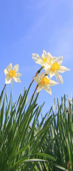 Daffodils...like because it is often one of the first signs of Spring!