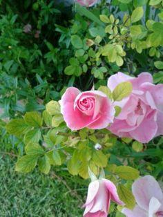 rosas.......