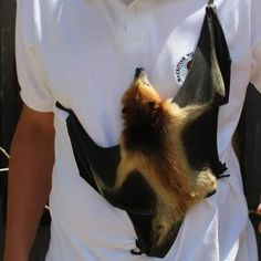 One of my fondest wishes is to hold a bat someday. Cute Creatures, Beautiful Creatures, Animals Beautiful, Bat Species, Endangered Species, Funny Animals, Cute Animals, Bat Flying, Baby Bats