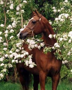 Anglo-Arab - in the apple blossom - those were heavenly days, in the orchards with Paris.