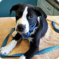 Border Collie/Pointer Mix Puppy for adoption in Durham, North Carolina - Schroeder